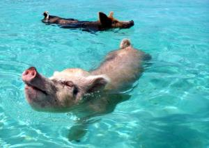 2 swimmiing pigs